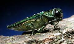 http://www.emeraldashborer.info