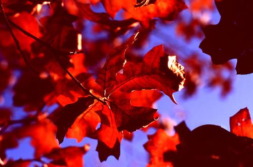Fall Fire. (Fuji Velvia 100F. Nikon F100. Epson V500.)