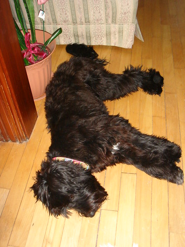 Not surprising that she fell into a puppy coma.  It was a long, but very fun day for a certain little Schnoodle Pup.