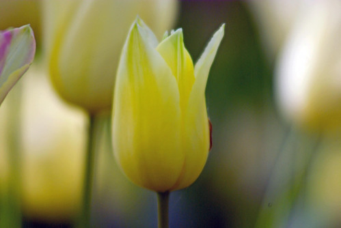 yellow-white tulips from Istanbul Tulip Festival (pentax K10D)