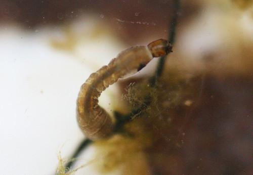Blackfly larvae