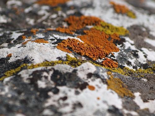 Yellow, Orange and Gray Lichen
