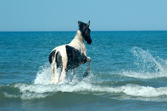 Sea horse, Albania