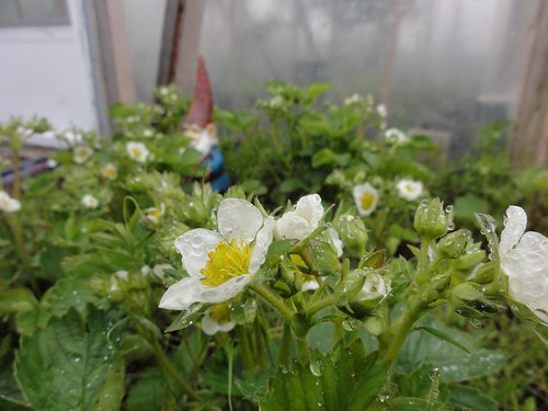 Early strawberries, inaptly named