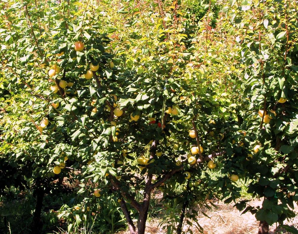 skp_apricot_1july2008.JPG