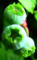 Still-green berries