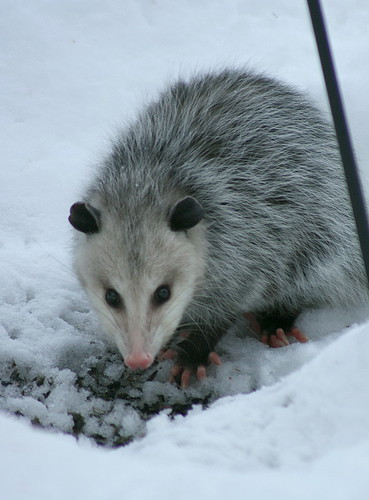 Possum at feeder