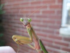 Praying Mantis