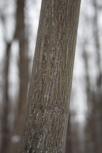 Striped Maple Bark