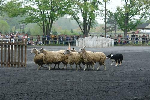 MSW Sheepdog demos
