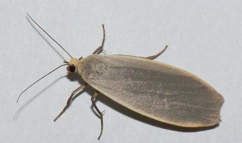 Dingy Footman moth (eilema griseola)
