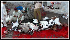 TUM KITNAY BAKRAY KAATO GE.... (fullmoonshadow) Tags: pakistan light nikon kill islam eid knife goat ground sharp equipment gathering coolpix khan mandi karachi effect ahmed sindh murdered prayers allah hammad namaz bakra sacrifies eidgah bakreid eiduzadha badieid