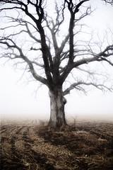 The Tree 52