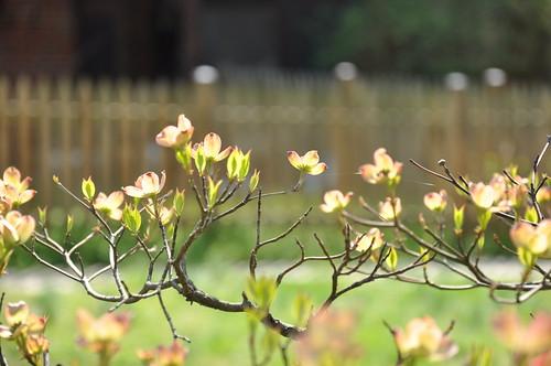 dogwood fence before