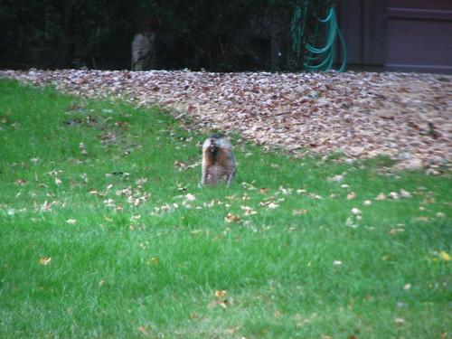 Woodchuck, groundhog, whatever.