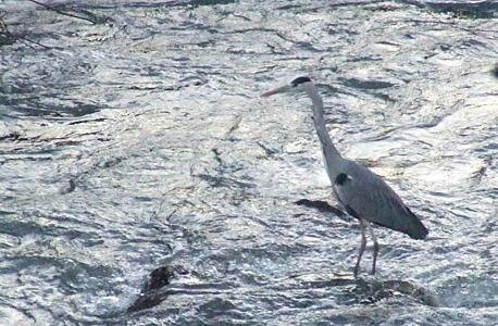 garça que pescas no rio