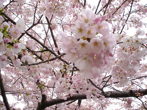 Cherry blossoms Burrard Skytrain