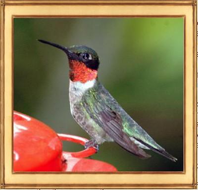 Audubon-Hummingbird