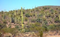 Saguaro de longe