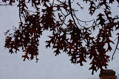 the red oaks