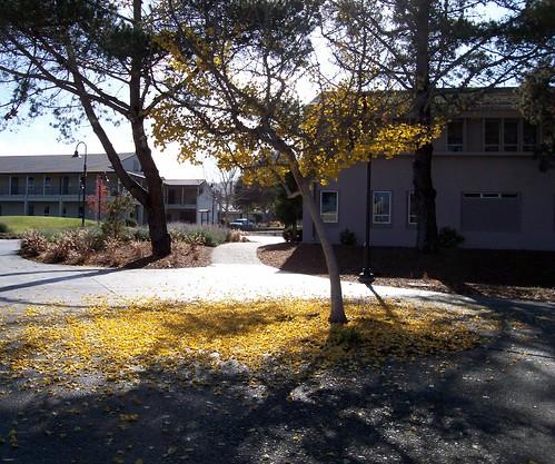 Gingko Tree and Leaves
