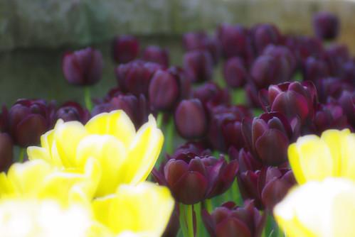 purple tulips ,istanbul tulip festival, istanbul, pentax k10d