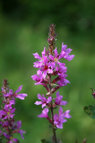 Purple Loosestrife, Lythrum salicaria