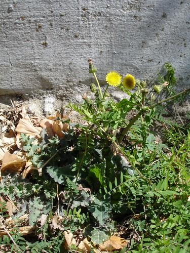 Ruderalpflanzen II