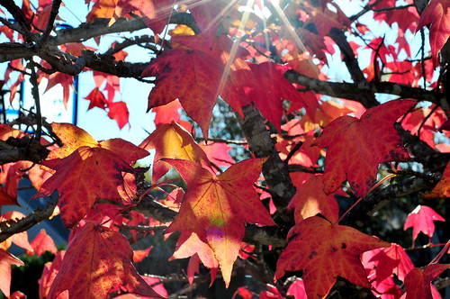 red leaves and sunstars