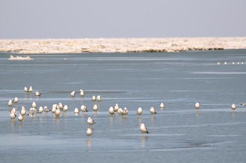 gull ice.jpg