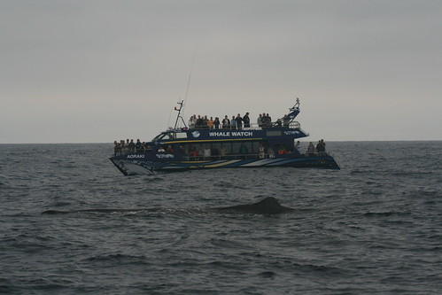 Sperm whale and whale watching boat - Kaikoura