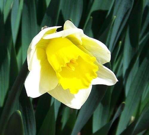 Daffodil two tone