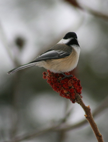 Black-capped Chickadee on sumac