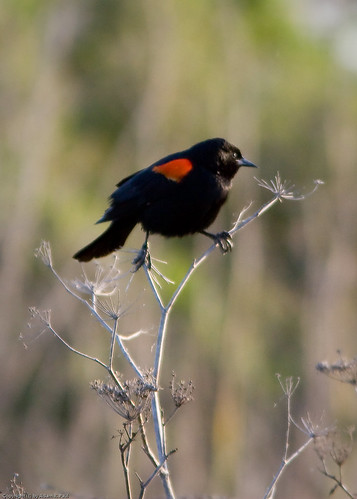 Red-winged Blackbird by you.