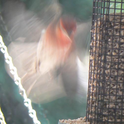 In flight finch