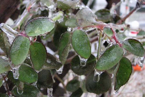 Ice on our rose bush