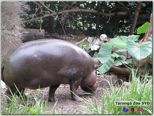 Taronga Zoo - Pygmy Hippo