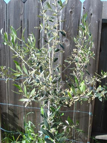 Mission olive tree