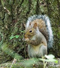 Gray Squirrel - Kensington Park, Michigan