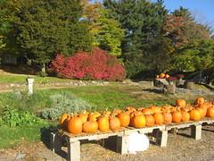 Pumpkins in the Sun