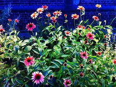 The flowers almost seemed to glow as the sun began to fade.