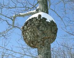 Burl on chestnut oak (D. Bonta)