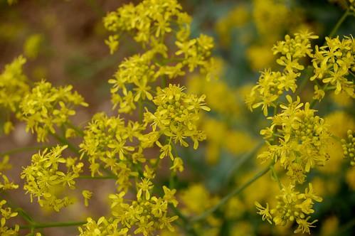 Isatis tinctoria Blüte (Foto op Flickr van naturgucker.de)