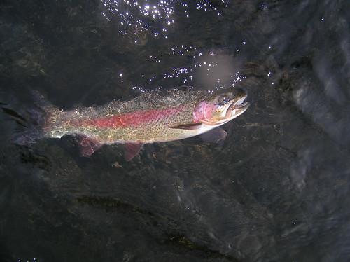 Mckenzie Redside Rainbow