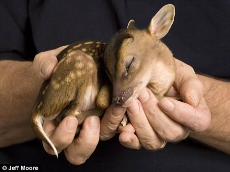 baby deer venison bambi doe its for dad blog meat week