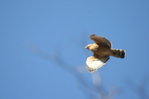 Red-shouldered Hawk flyover