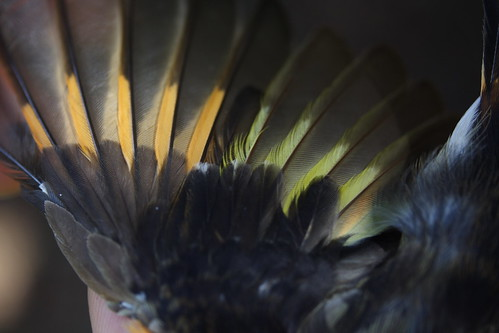 American Redstart Male 1b