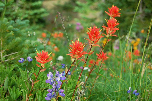 Wild Flowers, Hurricane Ridge, Olympic National Park