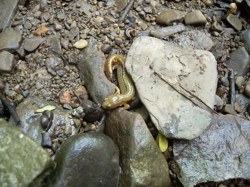 Salamander5