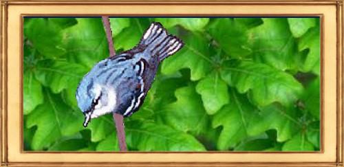 DCBirding-Cerulean